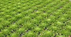 Plantación de borrajas