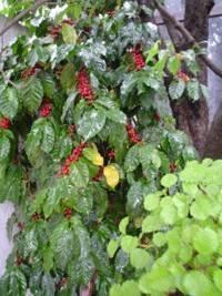 La planta de café