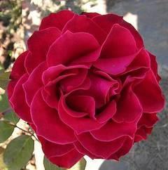 Limpiador de agua de rosas