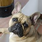 Bulldog como mascota