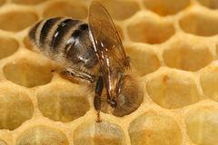Abeja productora de miel