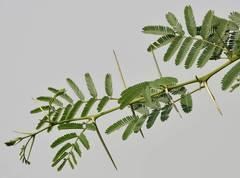 planta de acacia