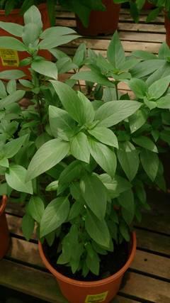 planta de albahaca
