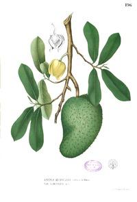 Propiedades de la annona muricata, guanábana, graviola