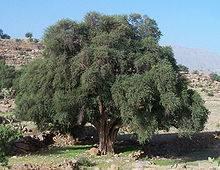 Árbol de argán