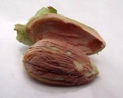 fruto de avellana