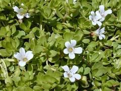 Planta de bacopa