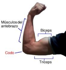 Músculo biceps