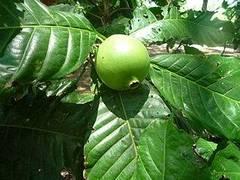 planta de borojo
