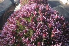 Thymus moroderi
