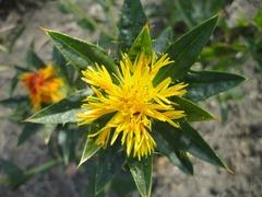 Flor cartamo