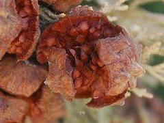 planta de ciprés