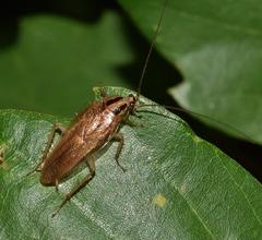 Cucarachas