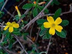 planta de damiana