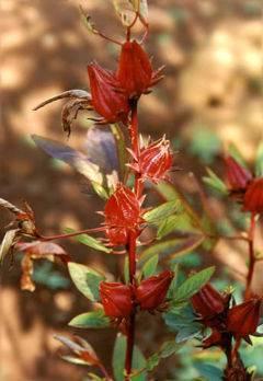 Contraindicaciones de la flor de jamaica