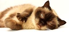 Gato sano