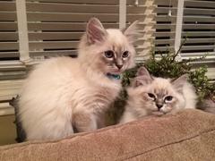 Gatos siberianos