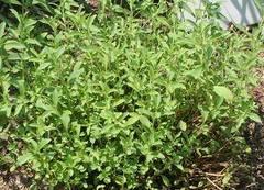 Propiedades de la stevia rebaudiana