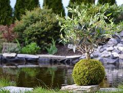 Planta japonesa