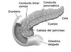 Anatomía del páncreas