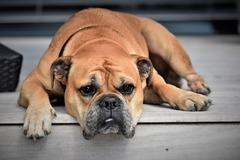 Dolor en perros