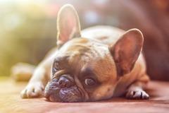 Enfermedad perros