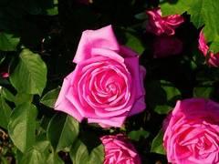planta de rosas