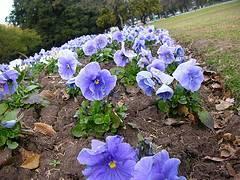 Planta de violeta
