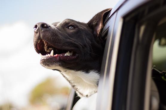 Perro en auto