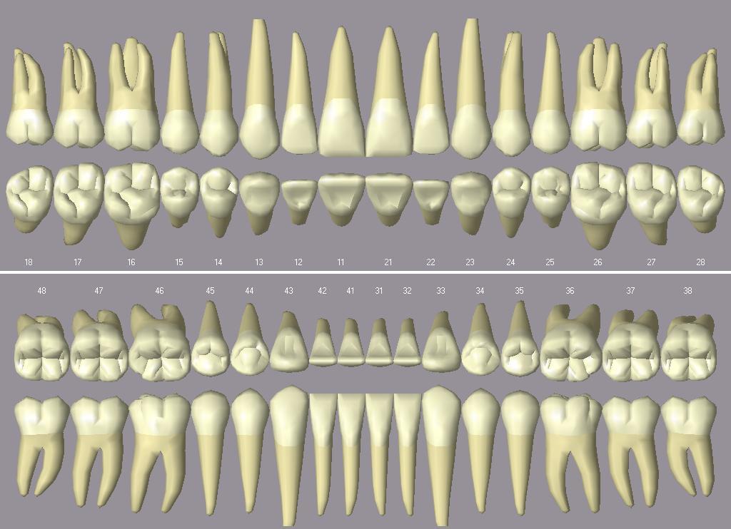 Qué son los dientes? Conoce su estructura, función y cuidados ...