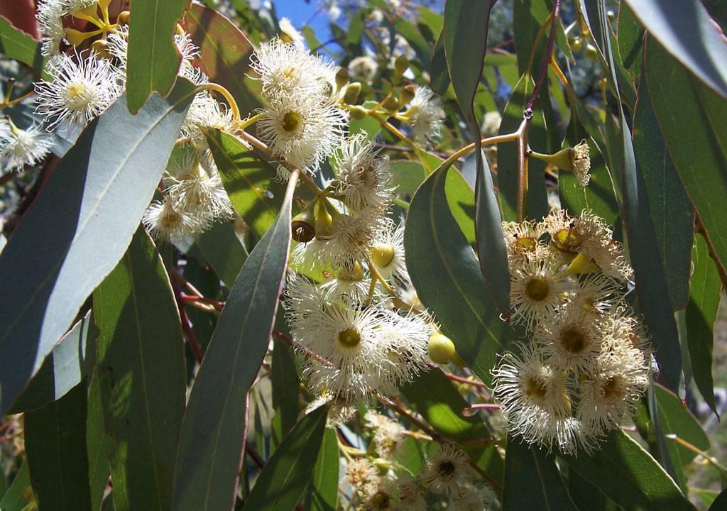 Miel de eucalipto para las afecciones de la garganta y los - Informacion sobre el eucalipto ...