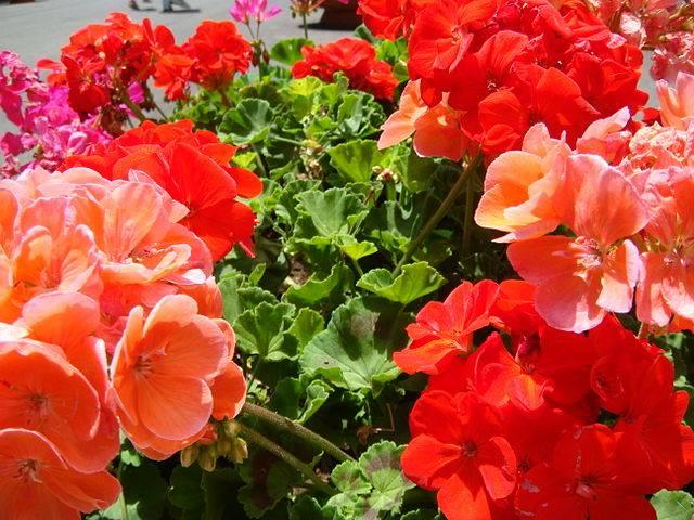 Flores de verano para el jard n c mo armar el jard n - Flores de verano ...