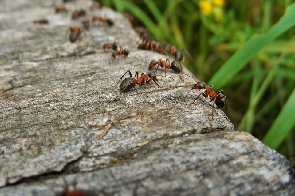 Repelente de hormigas casero y natural - Remedios caseros para eliminar hormigas en casa ...