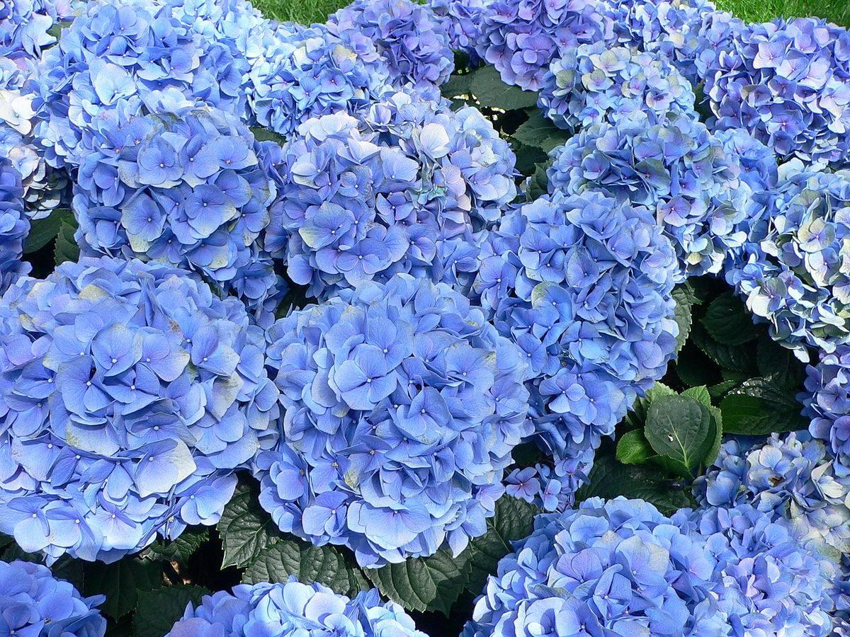 Como Cambiar El Color De Las Hortensias Con Productos Naturales