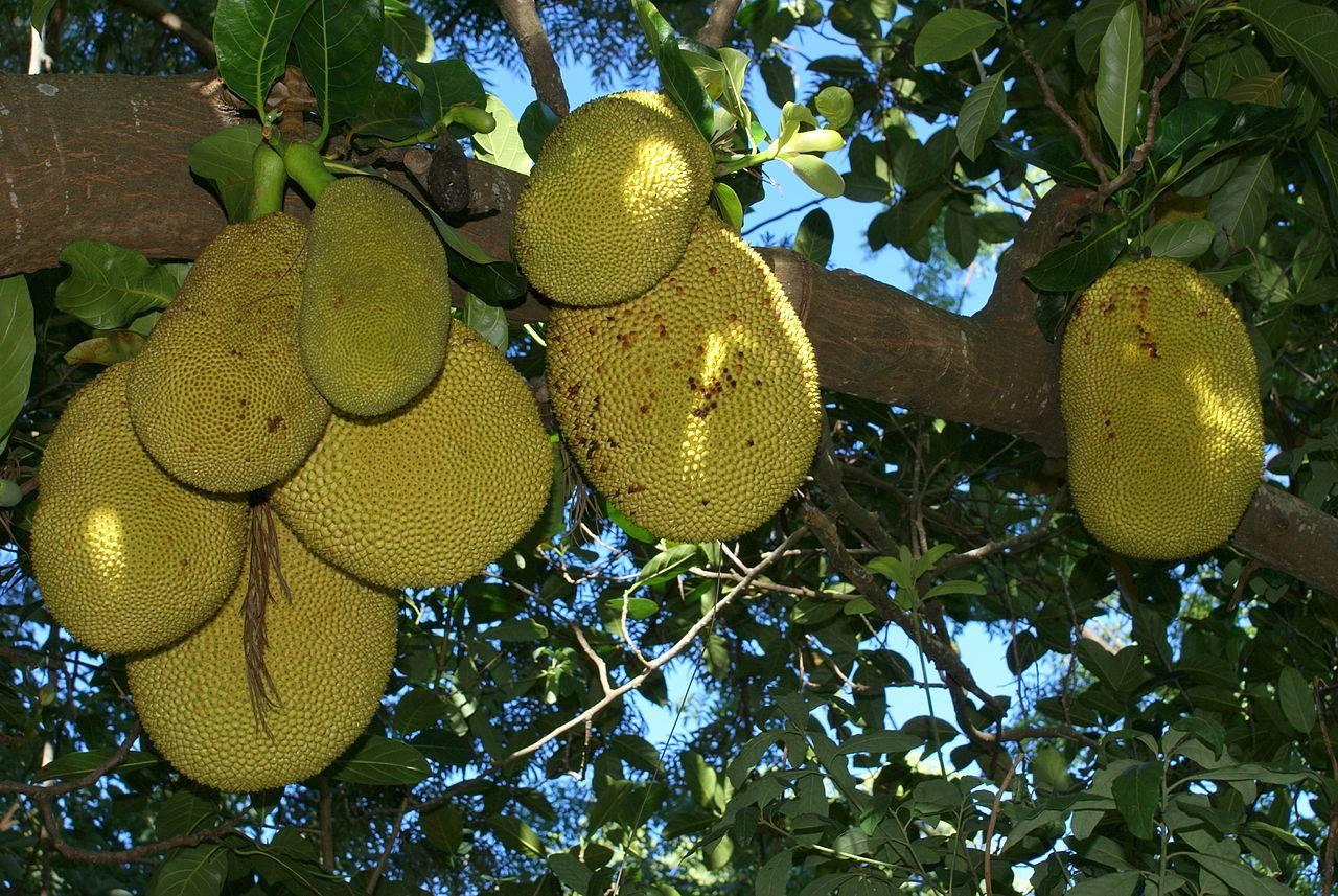 la jaca una extraordinaria fruta de la india