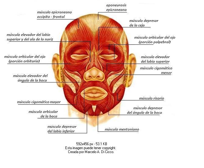 Músculos faciales: descubre para qué sirven y cómo ejercitarlos ...