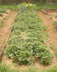 Asociaci n de plantas en la huerta org nica combinaci n for Plantas para huerta organica