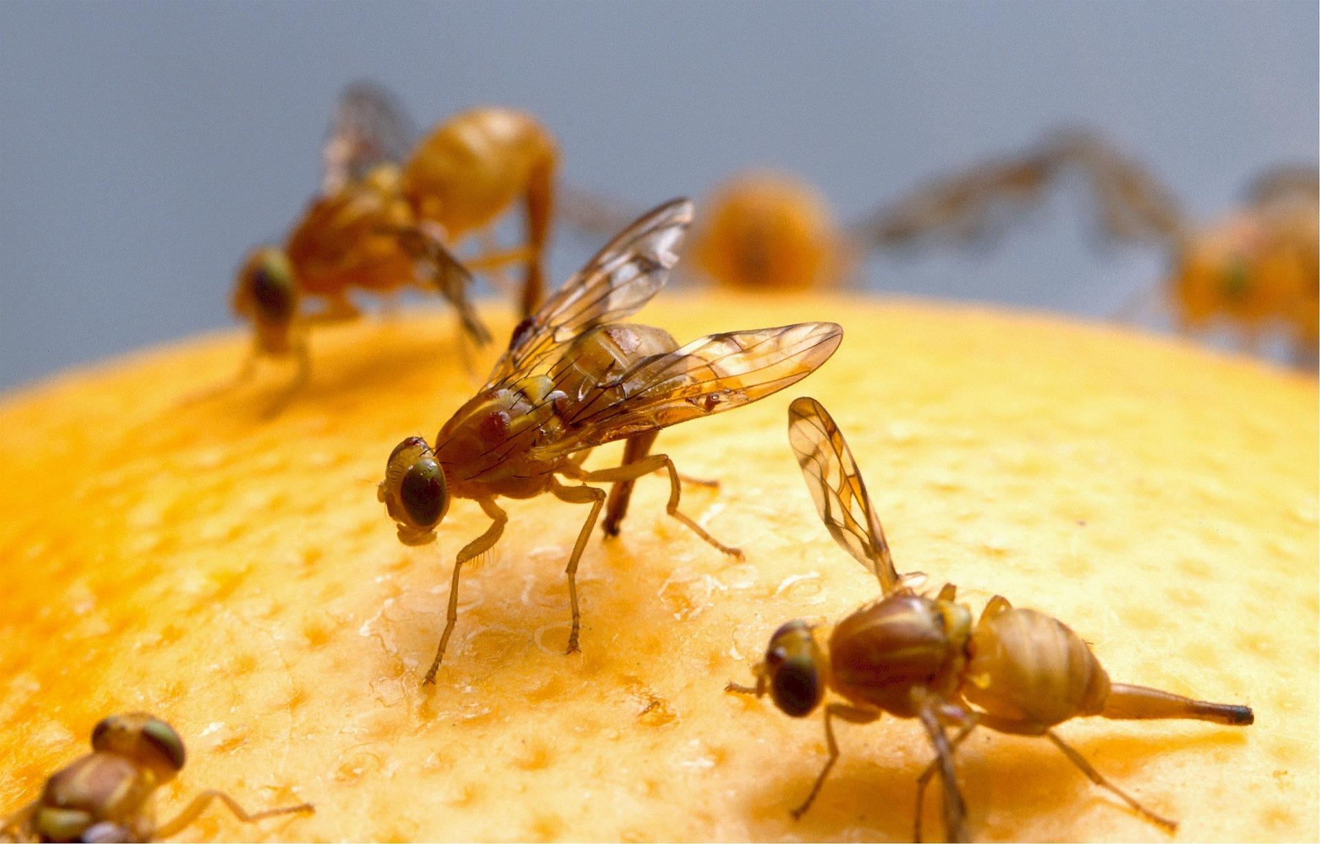Cómo deshacerse de las moscas de la fruta